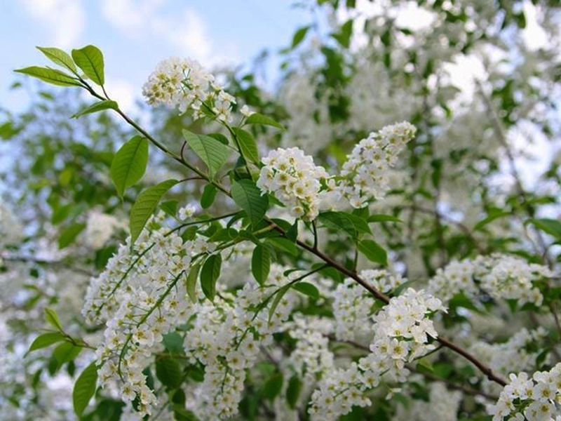 Panicles of white flowers on the Portuguese Laurel in late June