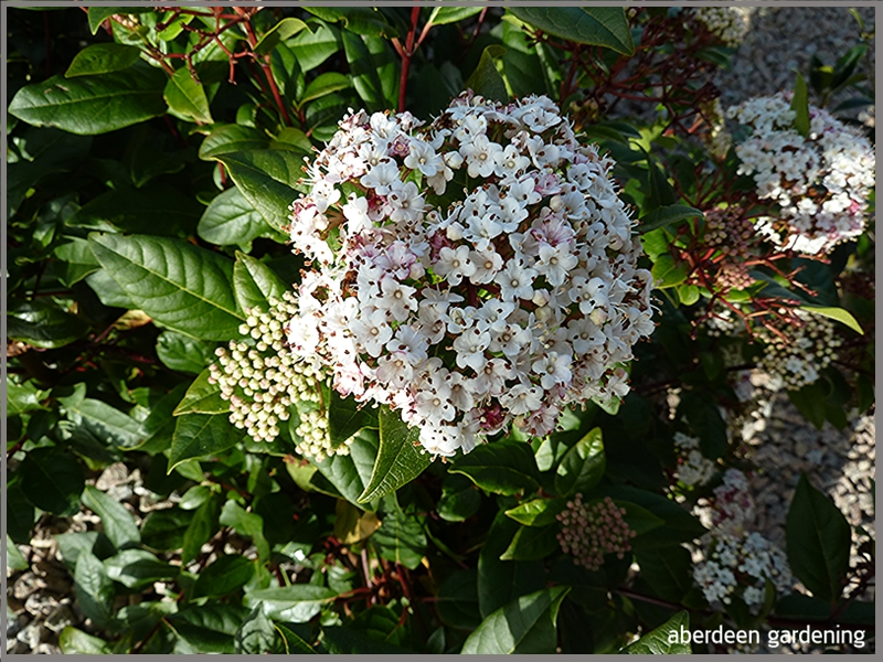 Viburnum Tinus Spirit smothered in blooms early March