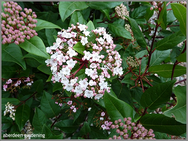Flowers started to appear in November Viburnum Tinus Spirit