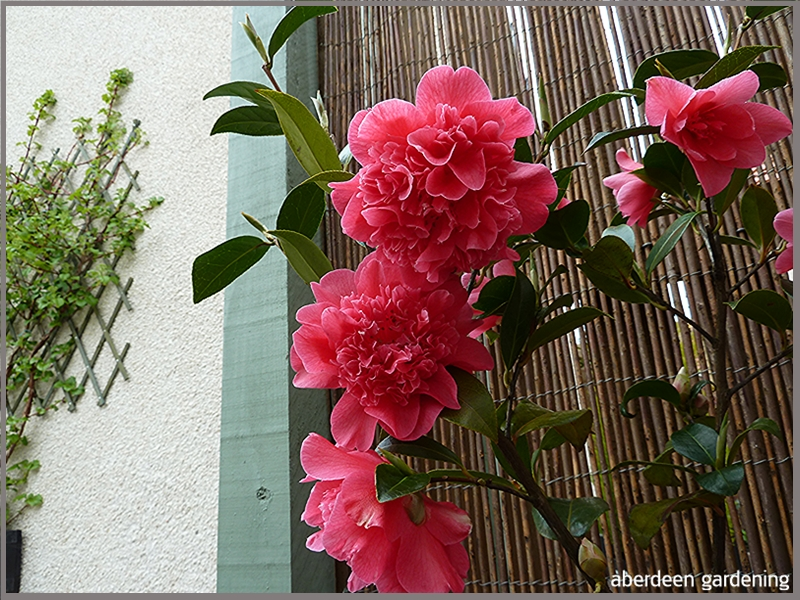 Camellia × williamsii 'Anticipation'