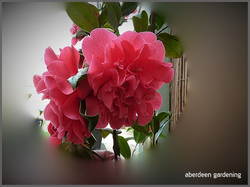 Close up of the deep pink flowers of Camellia × williamsii 'Anticipation