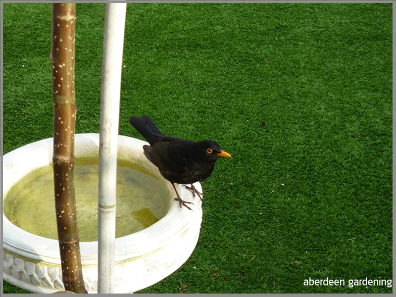 Blackbird sitting on the edge of the birdbath. It likes currants and now eats them out of my hand.
