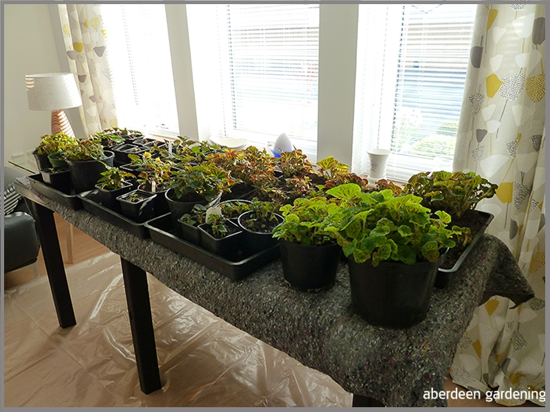Not enough room in the greenhouse. A pasting table is set up in our sunny front room and is covered with young Begonia plants.