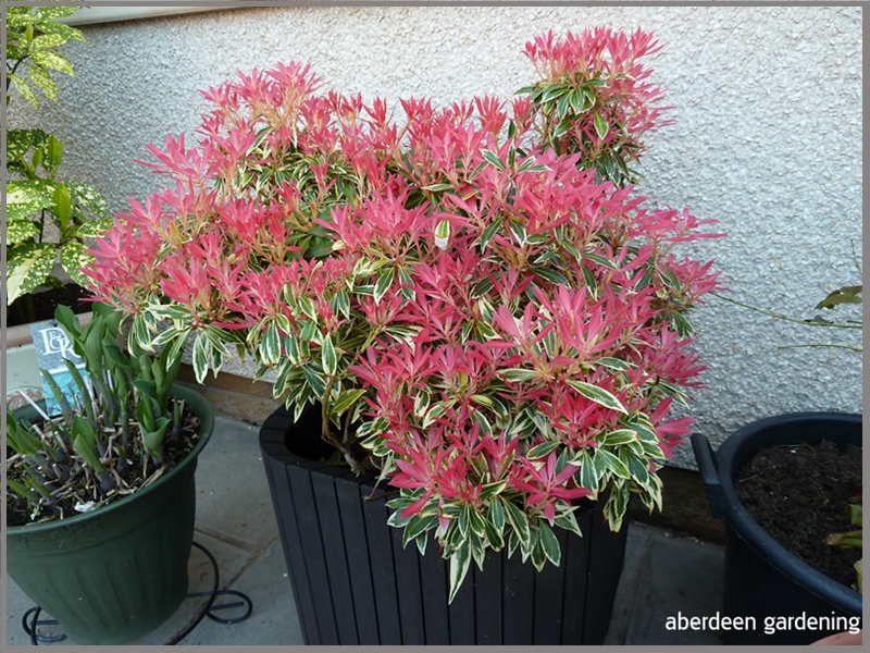 The Pieris Flaming silver looks stunning at the moment. The new red leaves smothering the shrub.