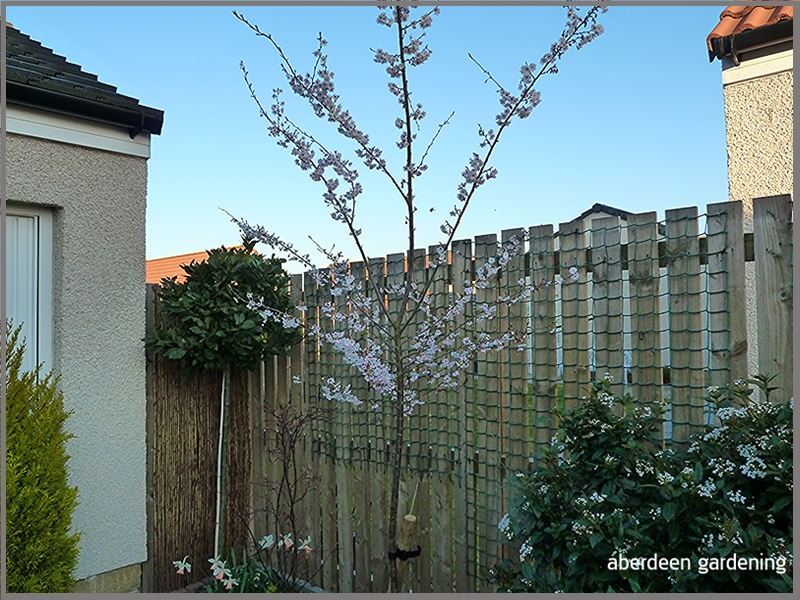 Prunus Autumnalis Rosea in our courtyard. Another young cherry tree in full bloom mid April