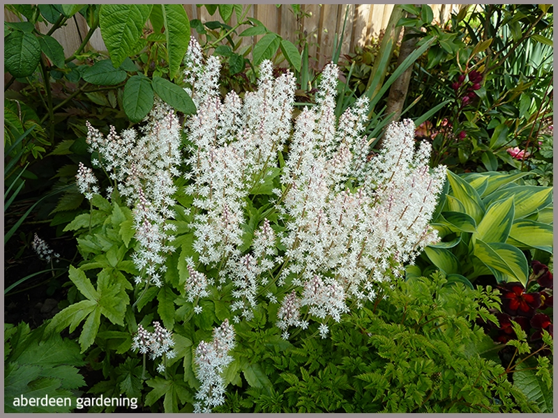 The Tiarella Trifoliata Sugar Scoop in full bloom in the border of our back garden
