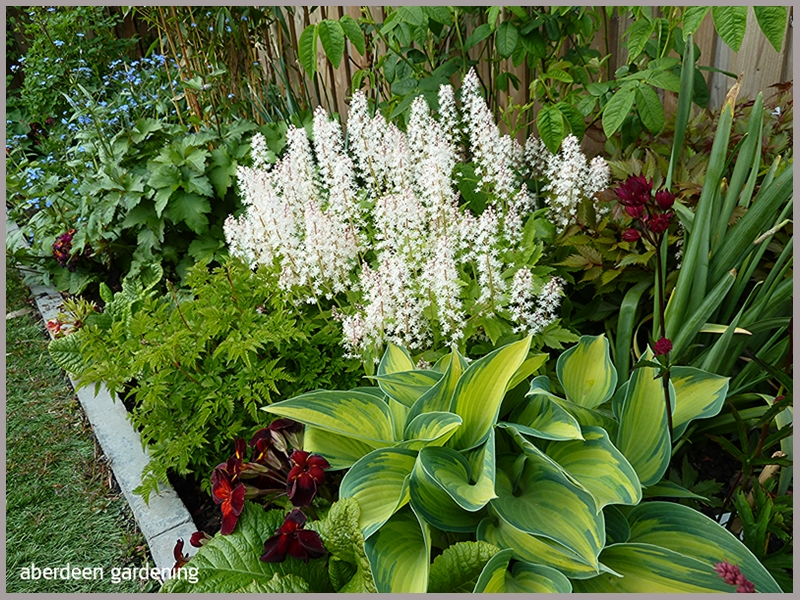 Tiarella Trifoliata Sugar Scoop surrounded by other herbaceous plants.