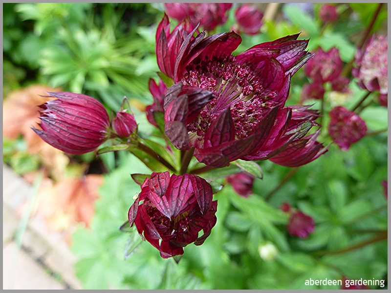 Astrantia Star of Fire