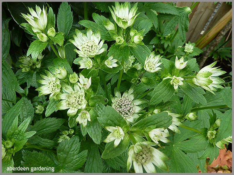 Astrantia Star of Billion white flowers with green edges