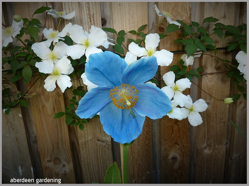 Meconopsis x Sheldonii Lingholm the perfect blue poppy growing in our Fife garden