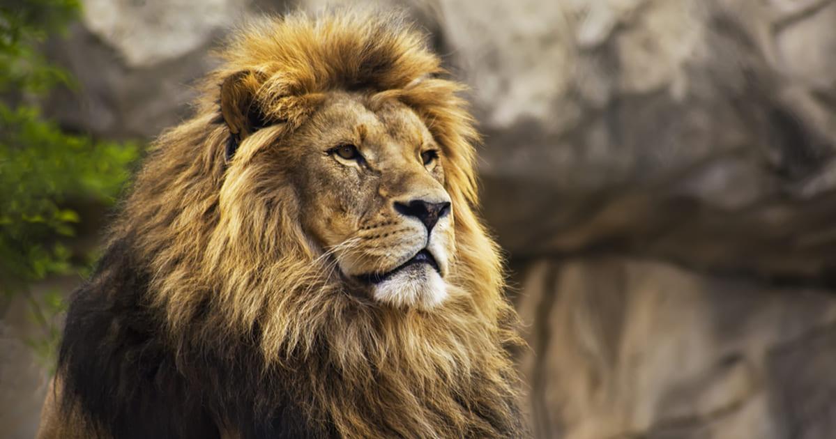 foto de um leão, representando a declaração de imposto de renda