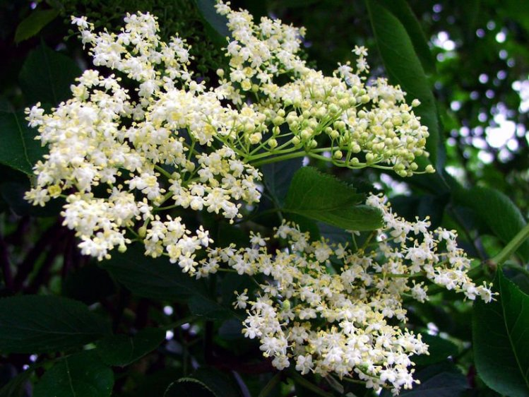 Elderflowers on an elder bush