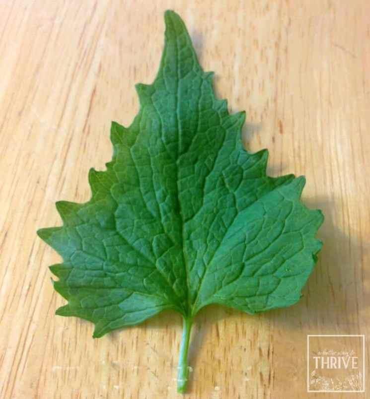 garlic mustard leaf