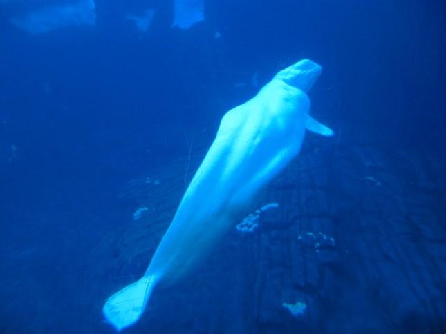 Beluga Whale!