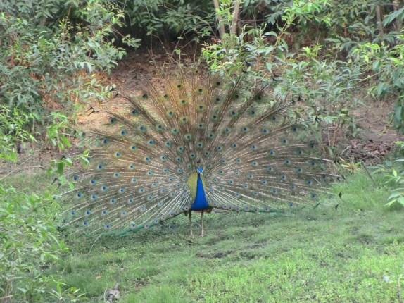 A dancing peacock!