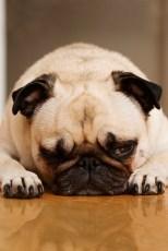 bored pug