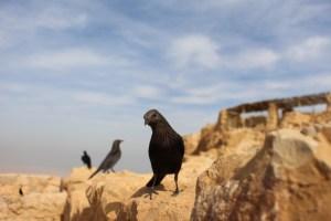 Israel Raven 1