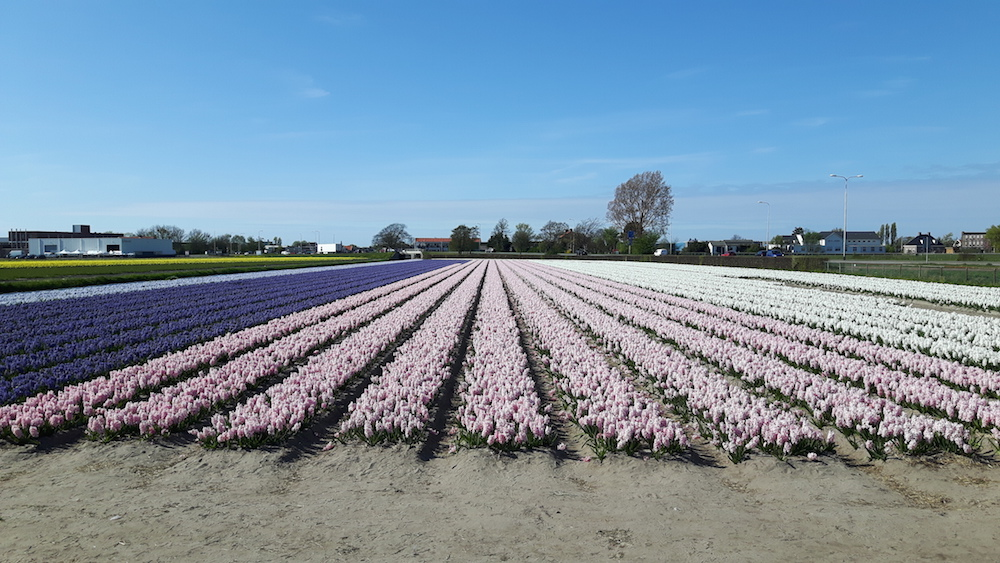 Hyacinth field in South Holland, the Netherlands