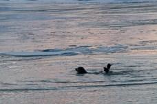 Seehund beim Spielen