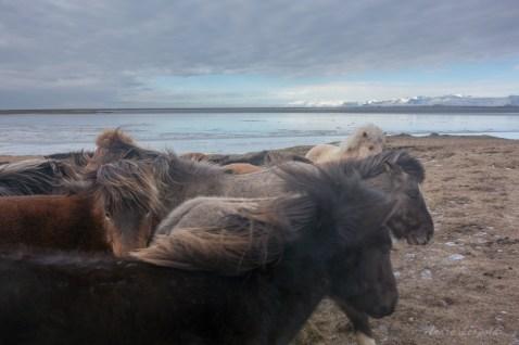 Islandpferde im Wind