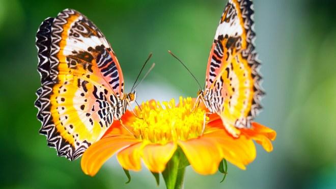 ButterfliesFlower
