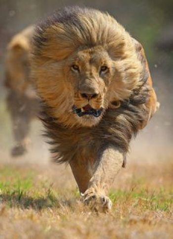 lioncharging
