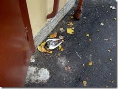 Дохлый голубь и мусор под окном. 001