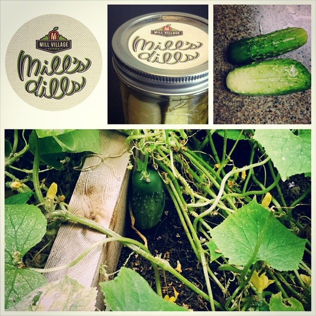 Mills Dills Pickle Label on isolated, on a pickle jar, a picture of pickle on a counter and a picture of a pickle in the garden