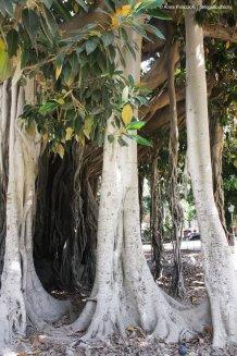 Ficus macrophylla più grandi d'Europa a Piazza Marina a Palermo