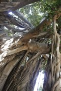 One of the biggest trees in Italy, the Ficus of Giardino Garibaldi in Palermo