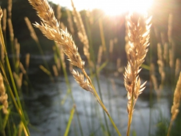 summer-wheat_21358588