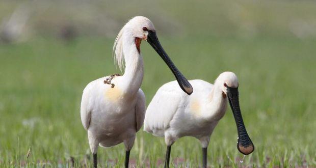 aves-plaiundi