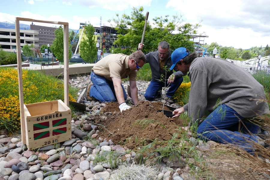 The Sapling Of The Tree Of Guernica Is Now Planted In The Nevada State Botanical Garden About Basque Country