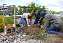 Plantando el retoño del Árbol de Gernika en la Universidad de Reno