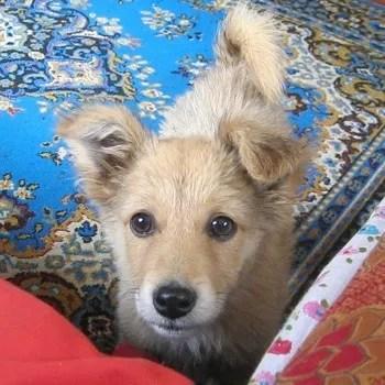Basque shepherd puppy