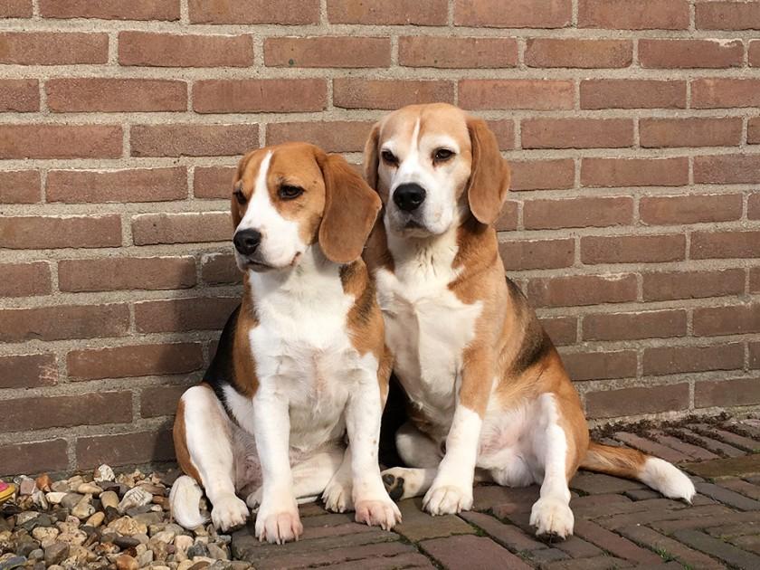 Beagles Mika & Luna