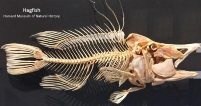 hagfish Harvard MNH