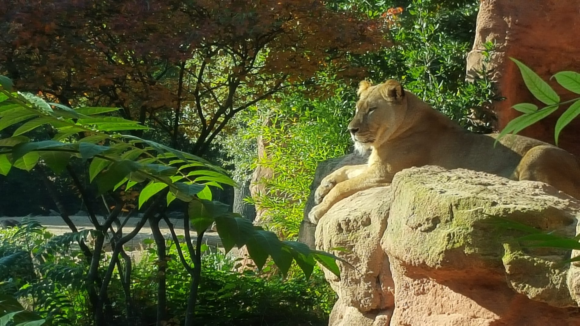 Erlebniszoo Hannover, das Löwengehege