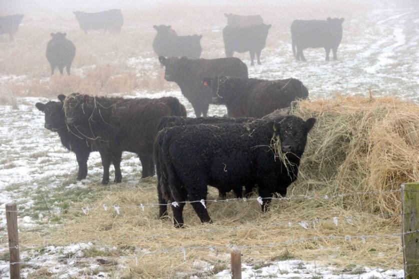 Die Galloways und Büffel lieben den Winter und sind ganzjährig auf der Luneplate (c) Bremenports