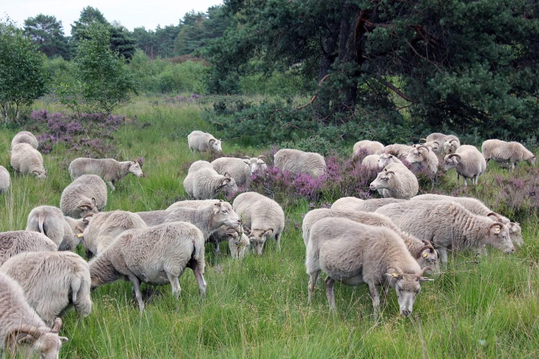 Heidschnuckenherde in der Gifhorner Heide
