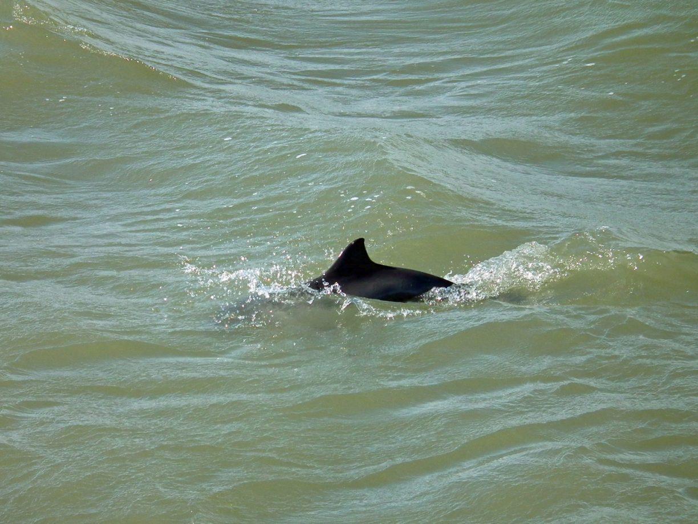 Rückenflosse vom Schweinswal
