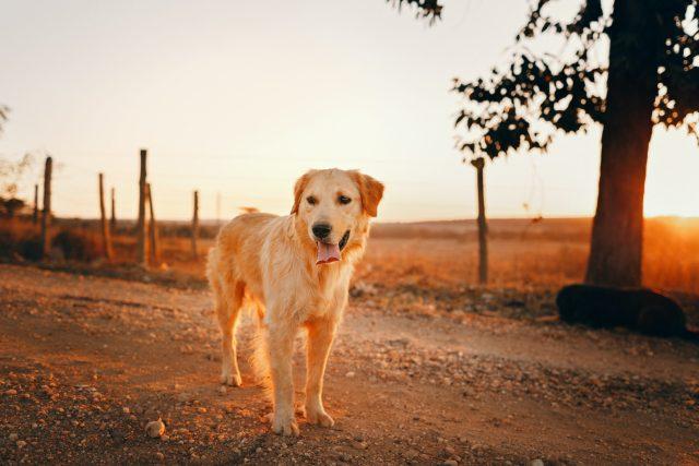 golden retriever raw dog food
