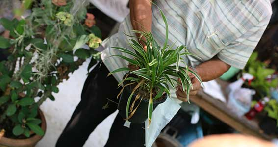 Buy a Spider Plant