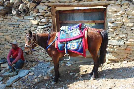 Mustangi Mule