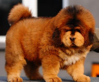 A Tibetan mastiff pug