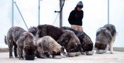 Caucasus shepherd