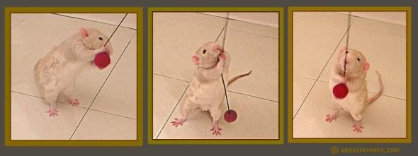 #petrats #rats #petratcare