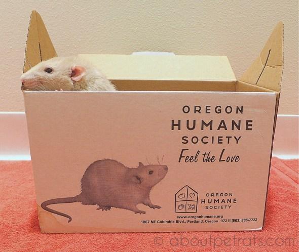 about pet rats, pet rats, pet rat, rats, rat, fancy rats, fancy rat, ratties, rattie, pet rat care, pet rat info, pet rat information, pet rat adoption, pet rat from humane society, oregon humane society, OHS