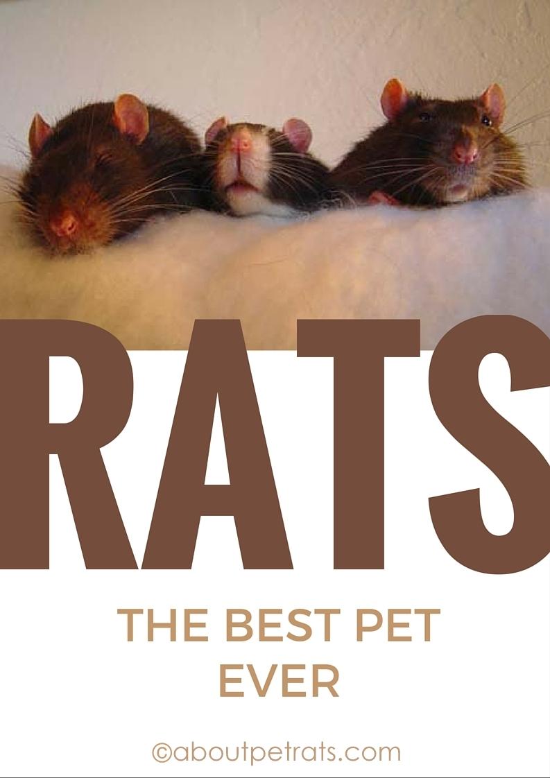 about pet rats, pet rats, pet rat, rats, rat, fancy rats, fancy rat, ratties, rattie, pet rat care, pet rat info, best pet, cutest pet, cute pet