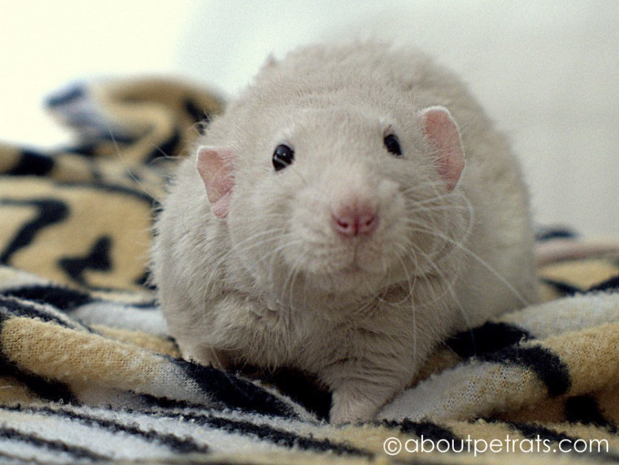 about pet rats, pet rats, pet rat, rats, rat, fancy rats, fancy rat, ratties, rattie, pet rat care, pet rat info, pet rat information, rex rat